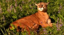 Female Mountain Lion Nursing Kitten