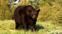 Large Male Black Bear Foraging, Shaking Head
