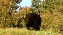 Large Male Black Bear Emerges From Pine Forest