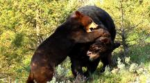 Adult Black Bear Wrestling With Juvenile
