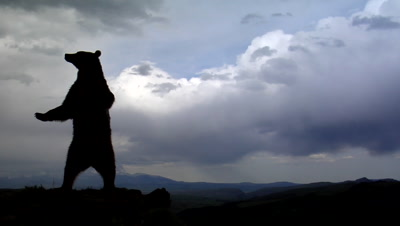 Silhouette Of Grizzly Bear Standing Upright On Mountain Ridge