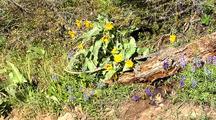Cross Fox Or Brandt Fox Kits At Entrance Of Den. Arrowleaf Balsamroot Flowers In Bloom