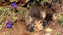 Cross Fox Or Brant Fox Kits At Entrance Of Den.