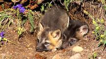 Cross Fox Or Brandt Fox Kits At Entrance Of Den.