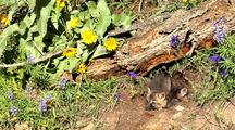 Cross Fox Or Brant Fox Kits At Entrance Of Den. Arrowleaf Balsamroot Flowers In Bloom