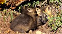 Cross Fox Or Brandt Fox Kits At Entrance Of Den