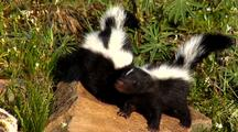 Young Striped Skunk Kits Exploring