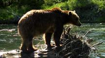 Adult Grizzly Walking On Deadfall In River Fishing