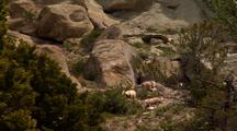 Bighorn Sheep Browse In Rocky  Area