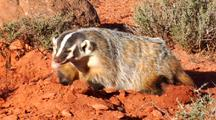 Badger Listening And Digging Burrow
