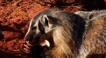 Badger Eating Prey