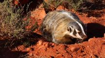 Badger Walking Out Of Burrow