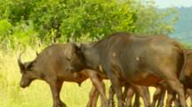 Cape Buffalo Herd