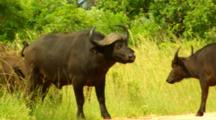 Cape Buffalo Guarding Road For Herd Crossing Kruger National Park, South Africa