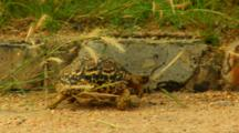 Leopard Tortoise Walking Along Road
