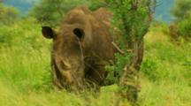 Large Rhinoceros Kruger National Park, South Africa