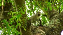 Vervet Monkey Perched In A Tree With Rambunctious Youngster