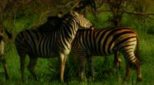 Plains Zebra Grooming Each Other