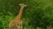 African Giraffe And Calf In Kruger National Park, South Africa