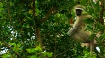 Vervet Monkey Perched In A Tree Scratching An Itch