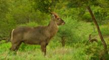 Male Waterbuck Standing, Relaxing