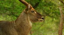 Male Waterbuck Relaxing