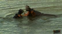 Hippopotamus Mock Fighting In River, Kruger National Park, South Africa