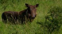 Warthog Looking At Camera