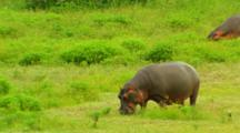 Hippopotamus Grazing On Grasses, Kruger National Park, South Africa