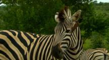 Plains Zebra Annoyed With Oxpecker Crawling Inside Zebras Ear