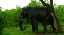 African Elephant Scratching An Itch In Kruger National Park, South Africa