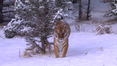 Siberian Tiger picking up scents on pine trees shaking off snow