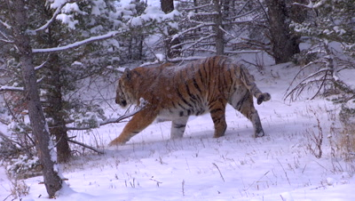 Siberian Tiger walking through pine forest during a snowstorm