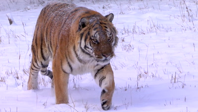 Siberian Tiger walking through the snow
