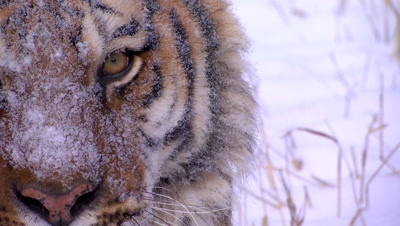 Siberian Tiger wth snow on its face walking out of frame