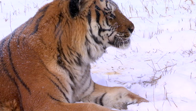 Siberian Tiger licking snow of its paw then looking up