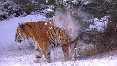Siberian Tiger sniffing tree for scent then marking tree in a snowstorm