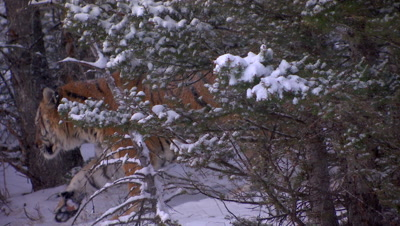 Siberian Tiger walking through a pine forest during a snowstorm