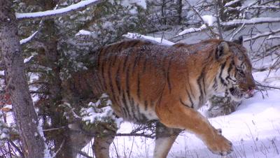 Siberian Tiger walking out of a pine forest durning a snowstorm