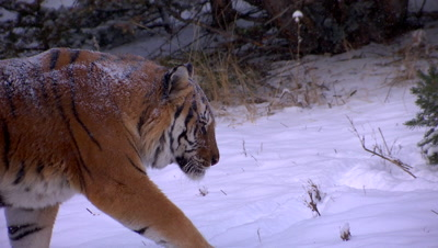 Siberian Tiger walking through pain forest during a snowstorm