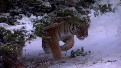 Siberian Tiger walking out from behind a pine tree and snow falling on its head