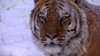 Siberian Tiger looking around intently in the snow