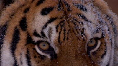Siberian Tiger close up of face,eyes and nose during a snowstorm