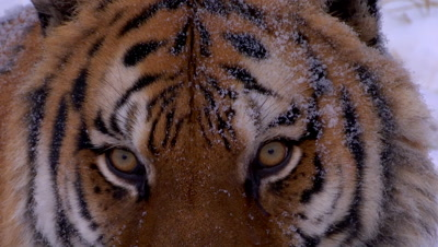 Siberian Tiger looking towards camera while it's snowing