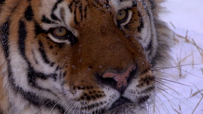Siberian Tiger looking intently off camera