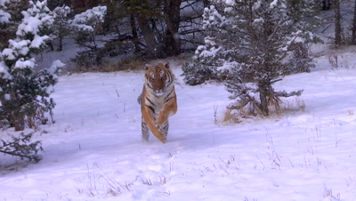 Siberian Tiger walking out of forest running towards camera in the snow