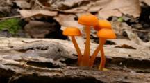 Time Lapse Growth Of Orange Mushroom On A Log