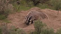 Extreme Zoom In Of Badger By Burrow