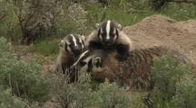 Badger With Cubs