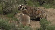 Badger Mother And Cub Exloring